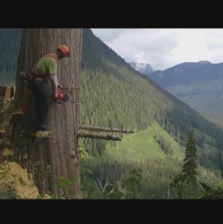 انداختن درخت تنومند به کمک اره زنجیری